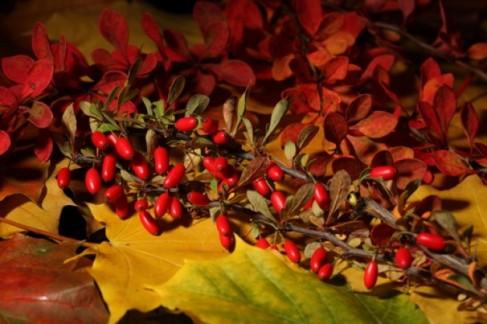 foglie--in-autunno--bacche--maturi_3337607